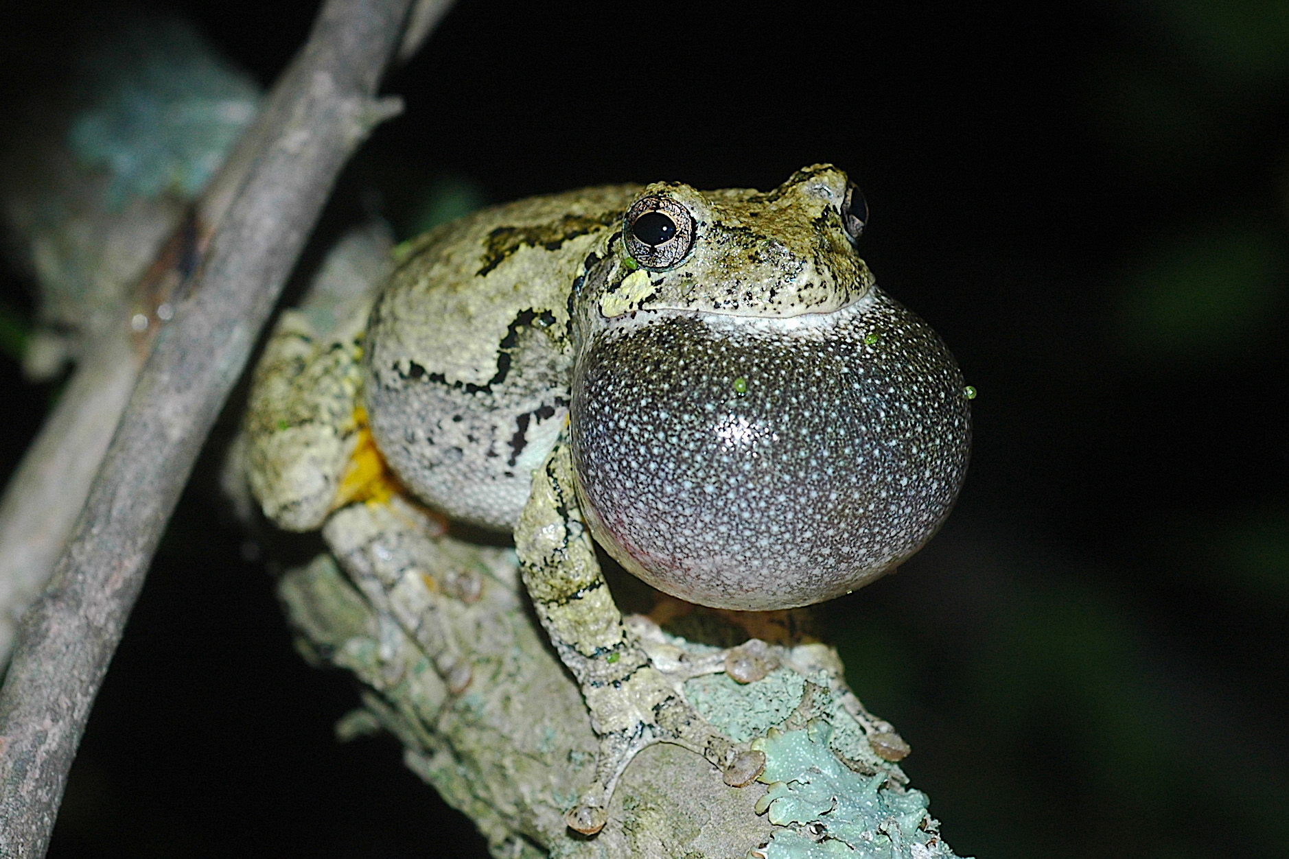 A gray tree frog calling. (Kurt Schwenk/UConn Photo)