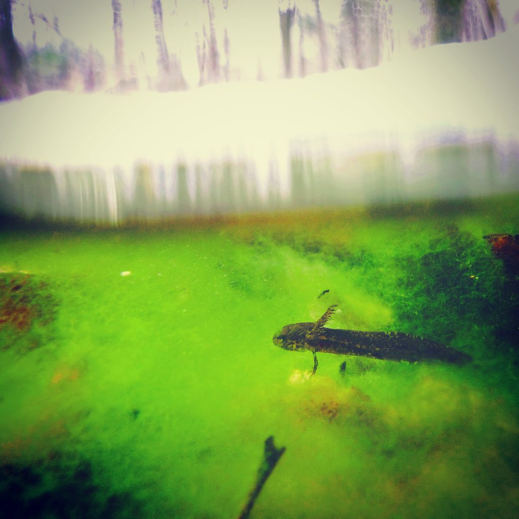 """""""I can look at a pond and can pretty much tell you with certainty if a predatory salamander is there or not,"""" says Mark Urban. """"Since they eat the animals that graze on algae, they make the ponds bright green."""" (Mark Urban/UConn Photo)"""