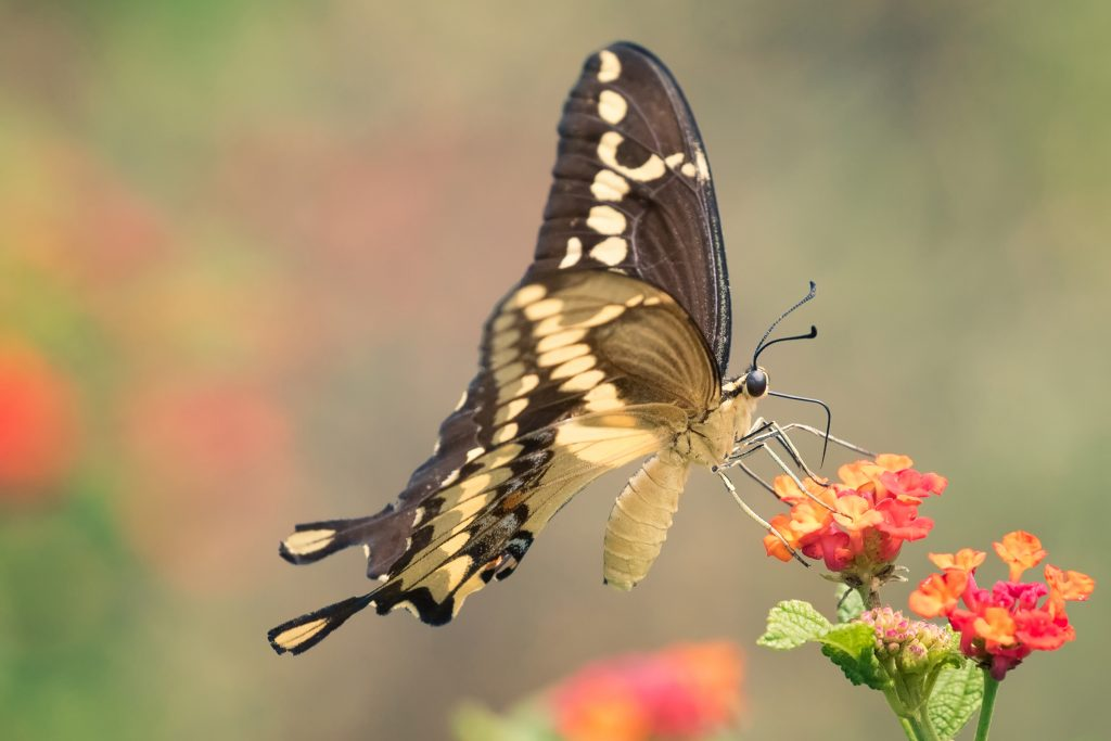 The giant swallowtail butterfly, a newcomer to Connecticut, is one representative of increased biodiversity among insect species in the Northeast due to climate change. (Getty Images)