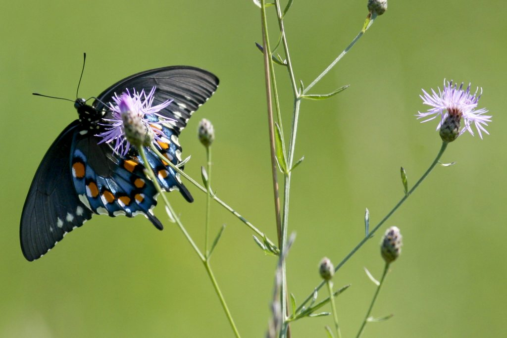 The pipevine swallowtail butterfly is a relatively new arrival in Connecticut. (Getty Images)