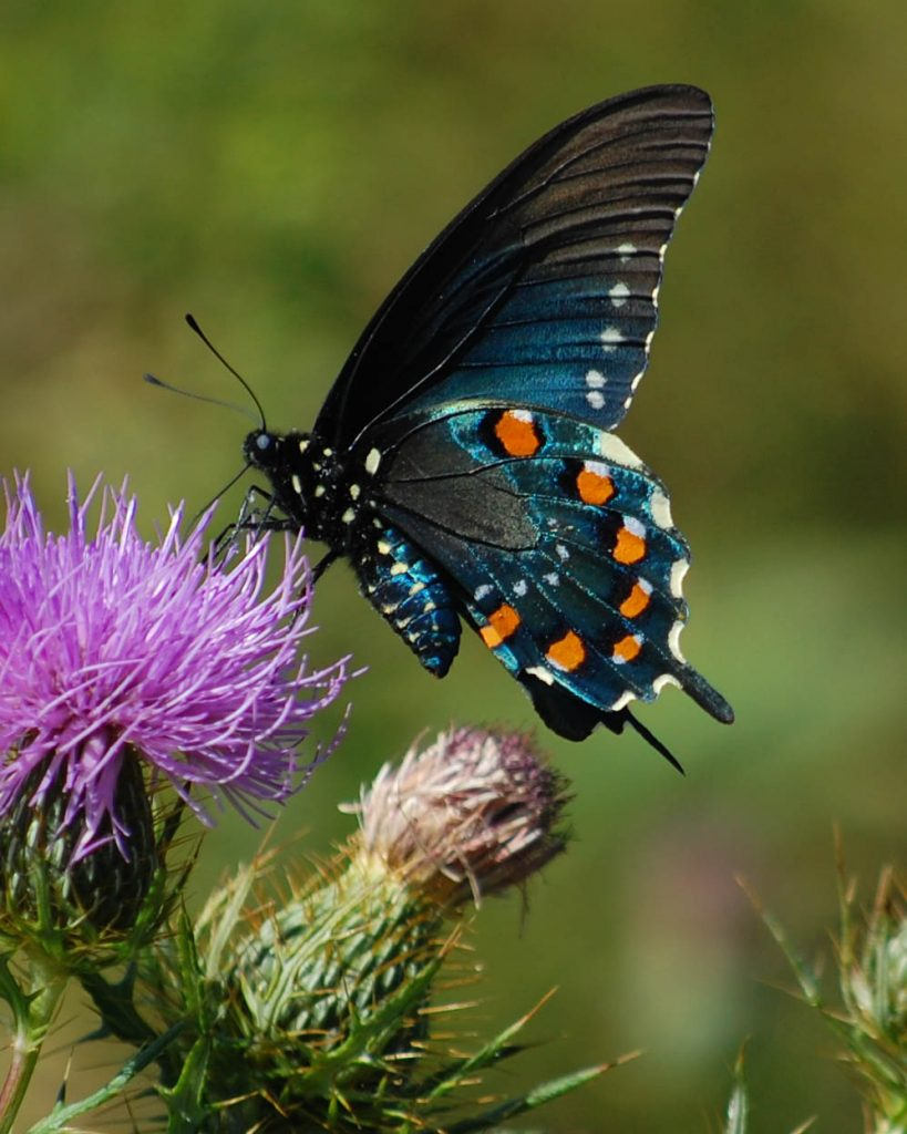 A pipevine swallowtail (Battus philenor). Photo by Sheryl Pollock from Discover Life)