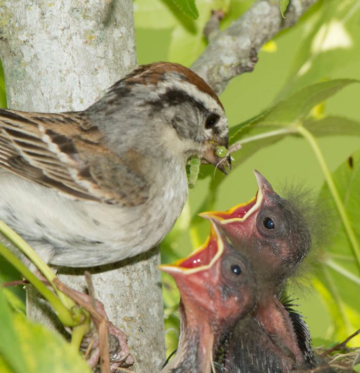 A sparrow feeds a caterpillar to its young. A mother bird needs hundreds of caterpillars to raise a clutch of nestlings. (Photo by Doug Tallamy)