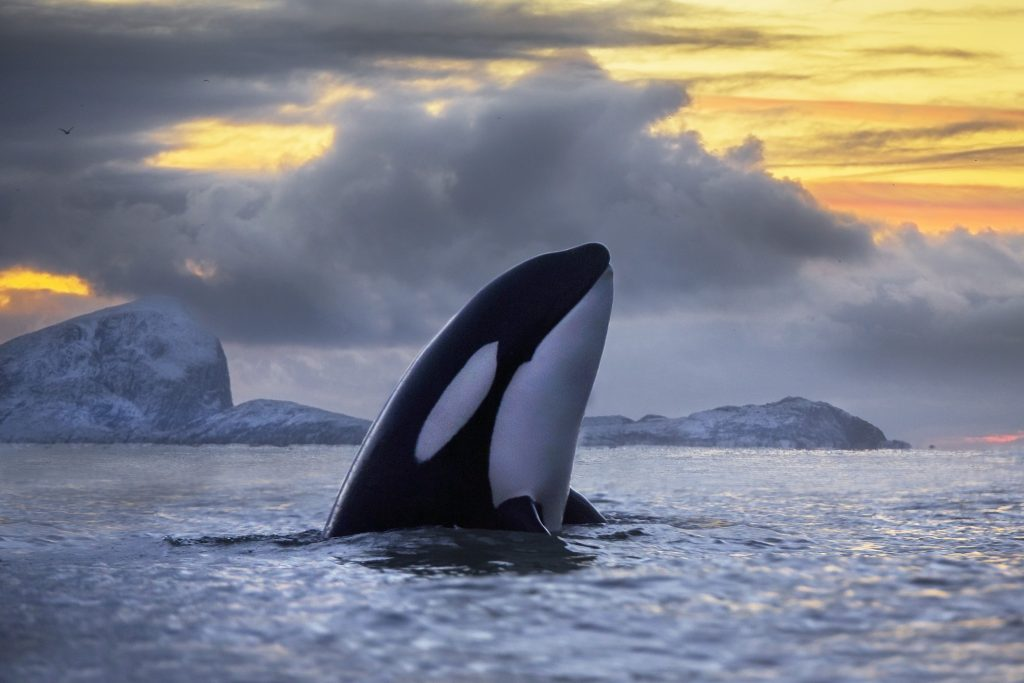 A killer whale off the coast of Norway. The oceans around Norway are among the areas where killer whale populations are growing. (Photo by Audun Rikardsen, Arctic Coast Photography)