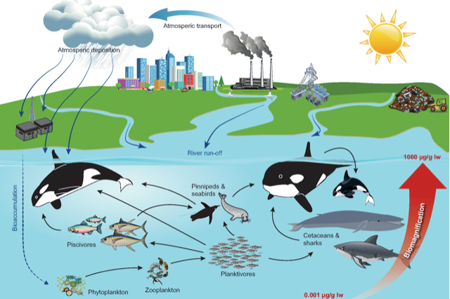 Killer whales in the food web. Those who eat seals and large fish such as tuna and sharks accumulate PCBs and other pollutants stored at successive levels of the food chain. (Illustration byJean-Pierre Desforges)