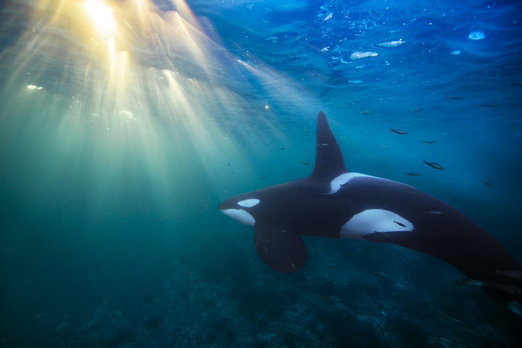 When killer whales like these hunt small fish like herring, the exposure to PCBs is much less than if they fed on large fish or marine mammals. (Photo by Audun Rikardsen, Arctic Coast Photography)