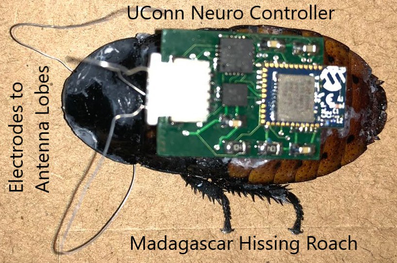 A cockroach with an implanted neurocontroller. (Image courtesy of the Dutta Lab)