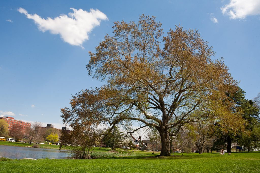 The 'swing tree' beside Mirror Lake is a Dahurian birch or Asian black birch, a rare specimen in this region. (UConn File Photo)