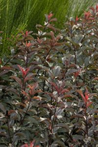 Prunus x cistena 'UCONNPC001' (Monrovia Photo)