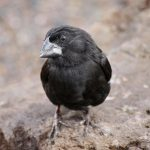 A medium ground finch, another species of Darwin's Finch on the Galapagos Islands. As the human population grows on the islands and as tourism continues to rise, rapid urban development and further alterations to the habitat threaten the island's ecosystems and wildlife. (Sarah Knutie/UConn Photo)