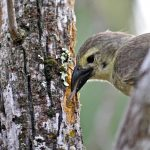 Darwin's Finches are iconic beacons of evolution, aptly named for Charles Darwin who was inspired in part by the finches' remarkable diversity across the islands. The bird pictured here is a woodpecker finch using a tool to collect food from within the bark of a tree. (Sarah Knutie/UConn Photo)