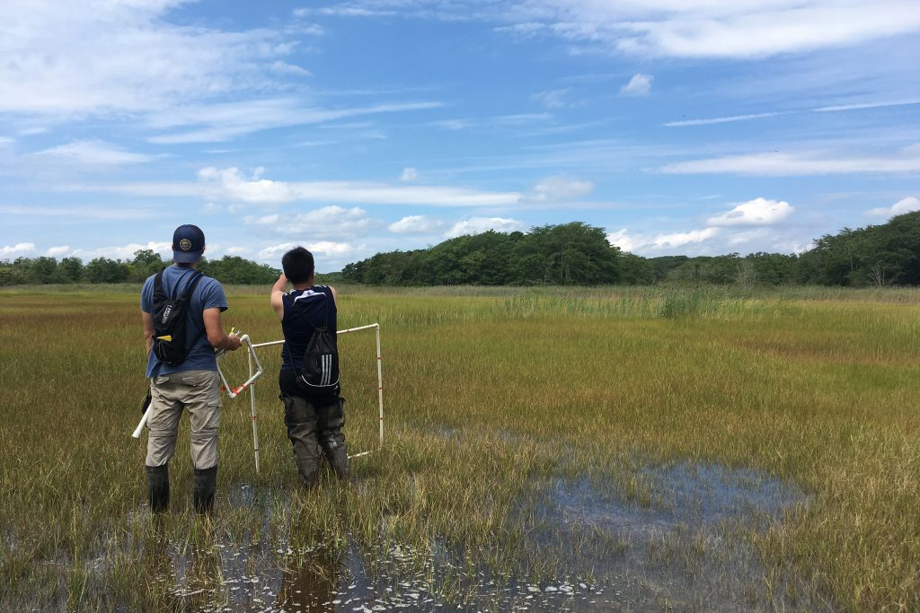 Graduate students Aidan Barry and Sean Ooi prepare to collect vegetation and soil samples at a tidal marsh in Connecticut. (Courtesy of Ashley Helton & Beth Lawrence)