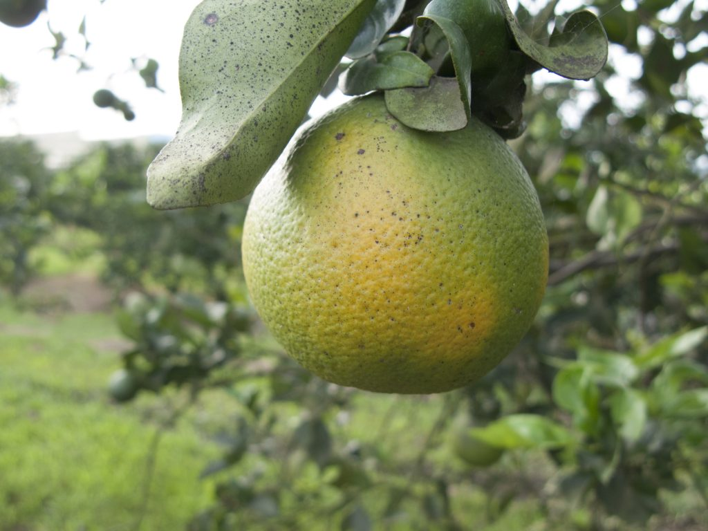 An orange affected by citrus greening, one of the most devastating diseases of citrus. (Getty Images)