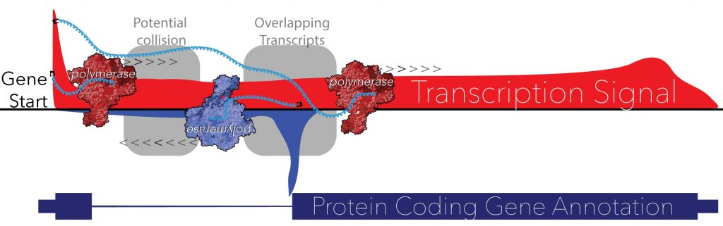 Transcription maps generated by Leighton Core's Lab show non-coding RNAs that overlap and potentially regulate production of protein-coding genes. (Illustration by Geno Villafano)