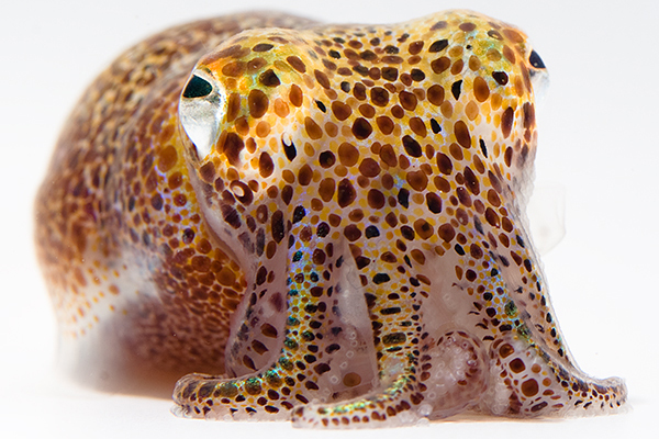 Hawaiian bobtail squid. UConn researcher Spencer Nyholm and his colleagues were the first to sequence this squid's genome. (Mattias Ormestad, www.kahikai.com)