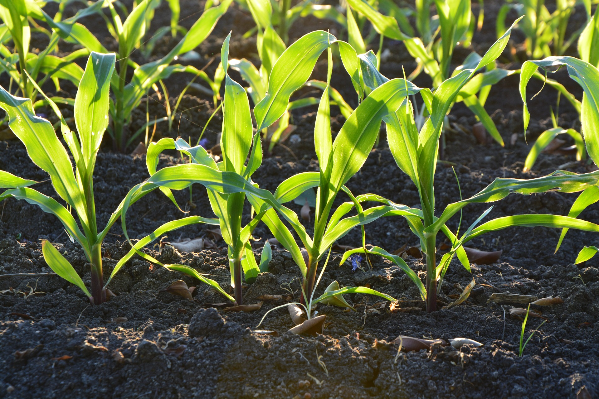 Corn in soil. Photo courtesy of Pixabay.
