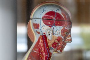 A mannequin showing the internal structure of the human head, at the School of Nursing. (Sean Flynn/UConn Photo)