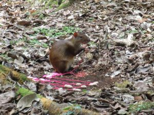 An agouti sizing up the cookie selection.