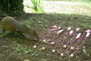 The agoutis choose their cookies, undeterred by the pink strings used by the researchers to track where the cookies are buried.