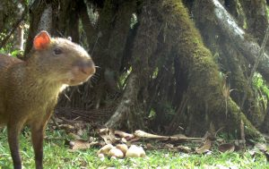 The researchers hypothesized that the cat-sized agouti would preferentially bury seeds perceived as more valuable further from their sources.