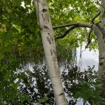 Graffiti on Birch, Herricks Cove Nature Preserve, Vermont. (2018) Herricks Cove is the result of the Williams River joining the Connecticut. Small nature preserves and parks are often at such confluences along the river, offering recreational opportunities for locals. Daylight.
