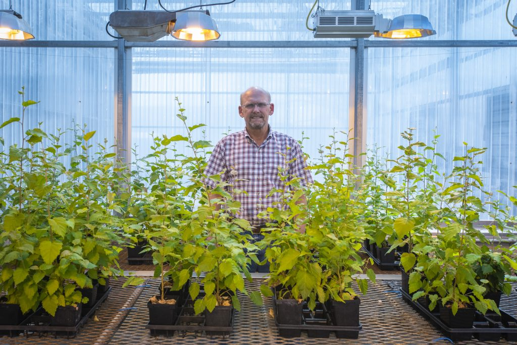 UConn's beloved 'swing tree' beside Mirror Lake, now reaching the twilight of its natural life, will live on through dozens of healthy seedlings that are being nurtured by horticulture professor Mark Brand at the Floriculture Greenhouse. (Sean Flynn/UConn Photo)