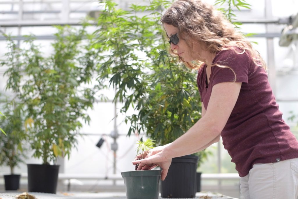 Shelley Durocher, plant science and landscape architecture lab aide, tends to cannabis plants in a UConn greenhouse. (Thomas Rettig/UConn Photo)
