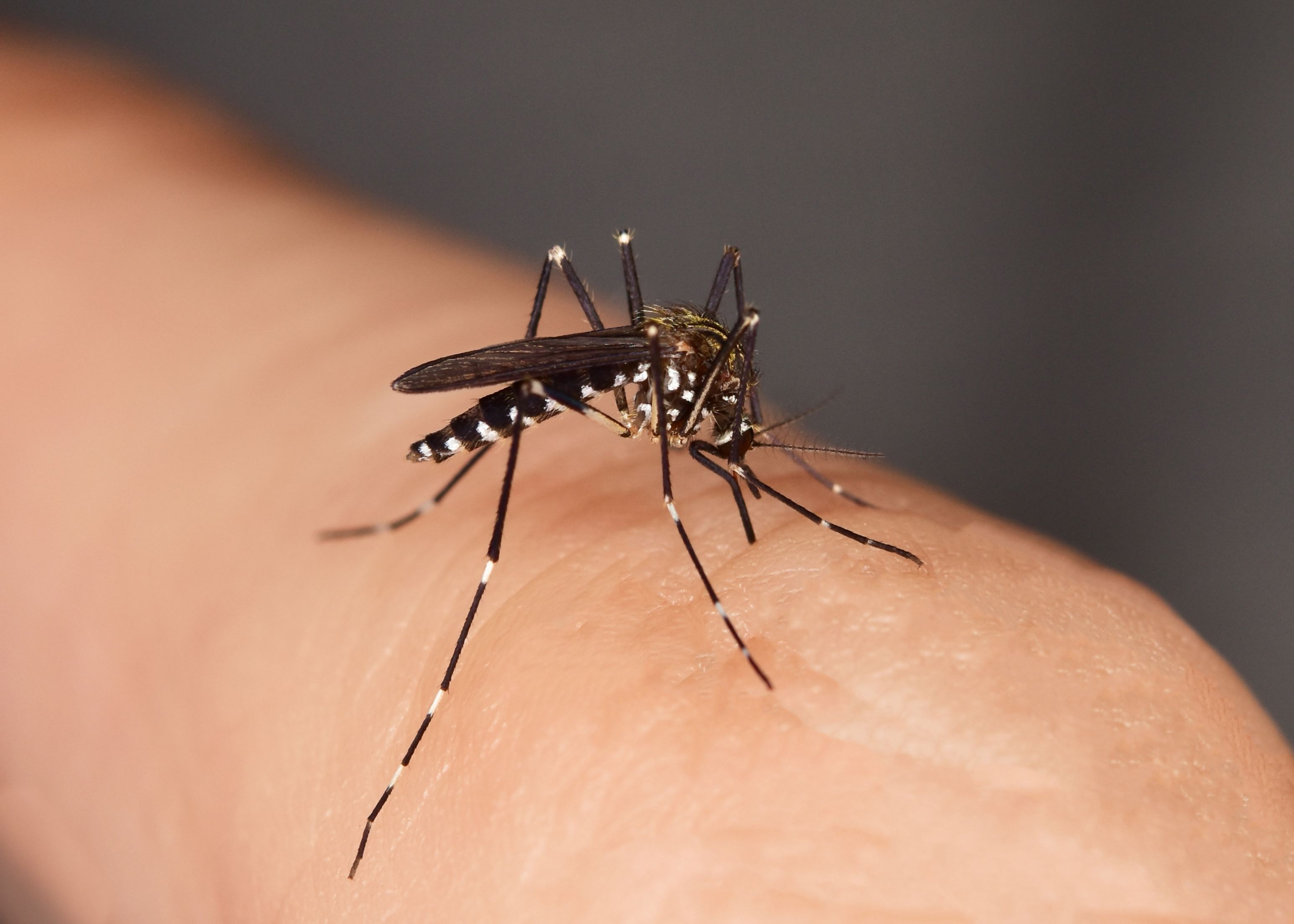 Mosquito sucking blood from a human. (Getty Images)