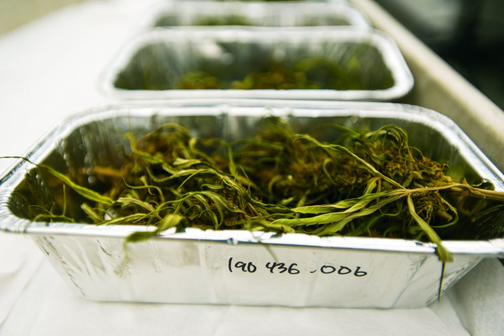 Hemp organized in trays in the lab at UConn's Center for Environmental Sciences and Engineering. (Sean Flynn/UConn Photo)