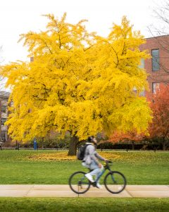 A bright yellow gingko tree on the Student Union mall