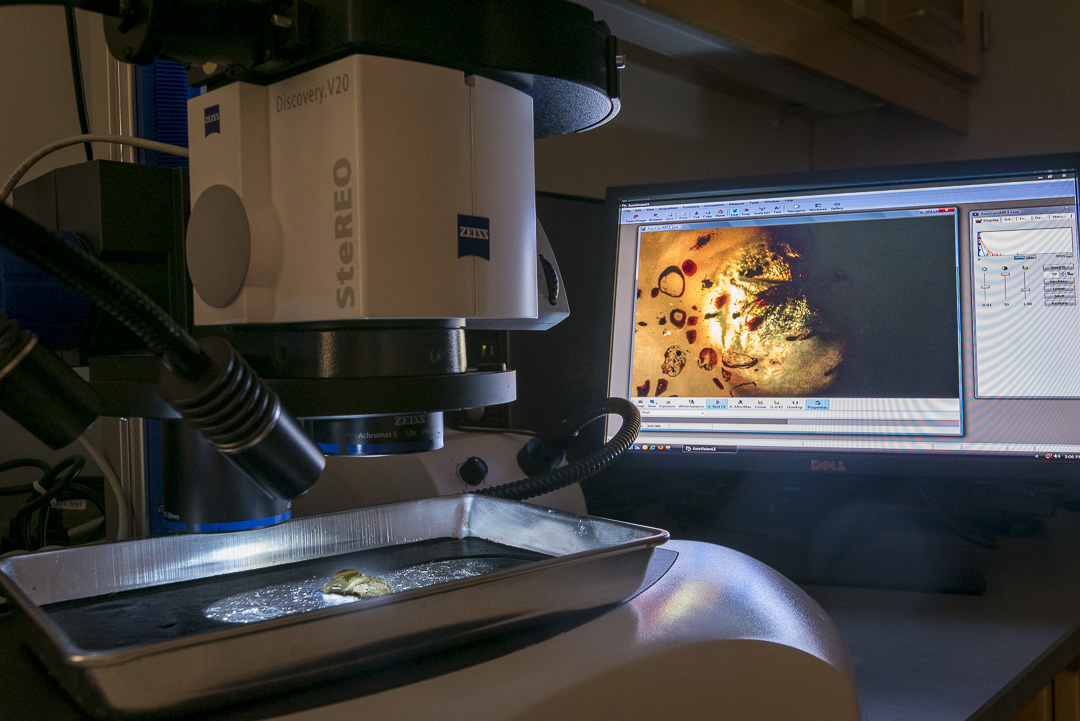 A bobtail squid under a microscope in the lab.
