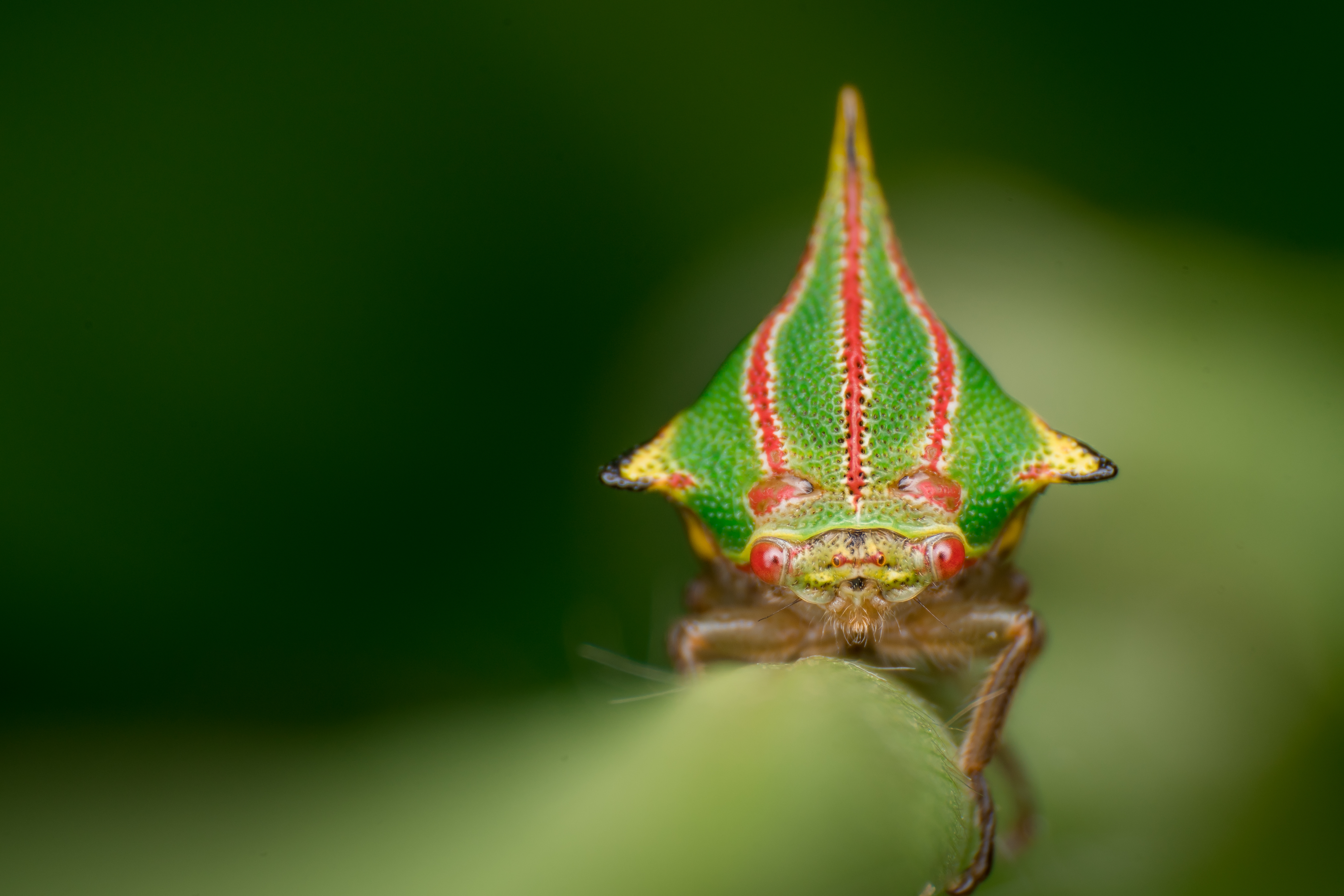 A treehopper insect with a colorful, triangular