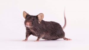 A brown mouse, like the ones who will spend 30 days in space as part of a research project.