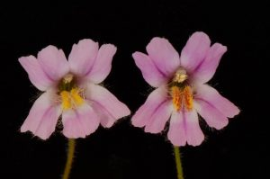 A side-by-side comparison of two monkeyflowers, showing variation in their patterns of pigmentation.
