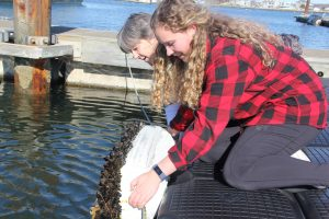 UConn Marine Sciences Professor Sandra Shumway, center, checks on mussels growing off the docks at UConn Avery Point with graduate student Hannah Collins. The shellfish will be used as part of a microplastics research project.