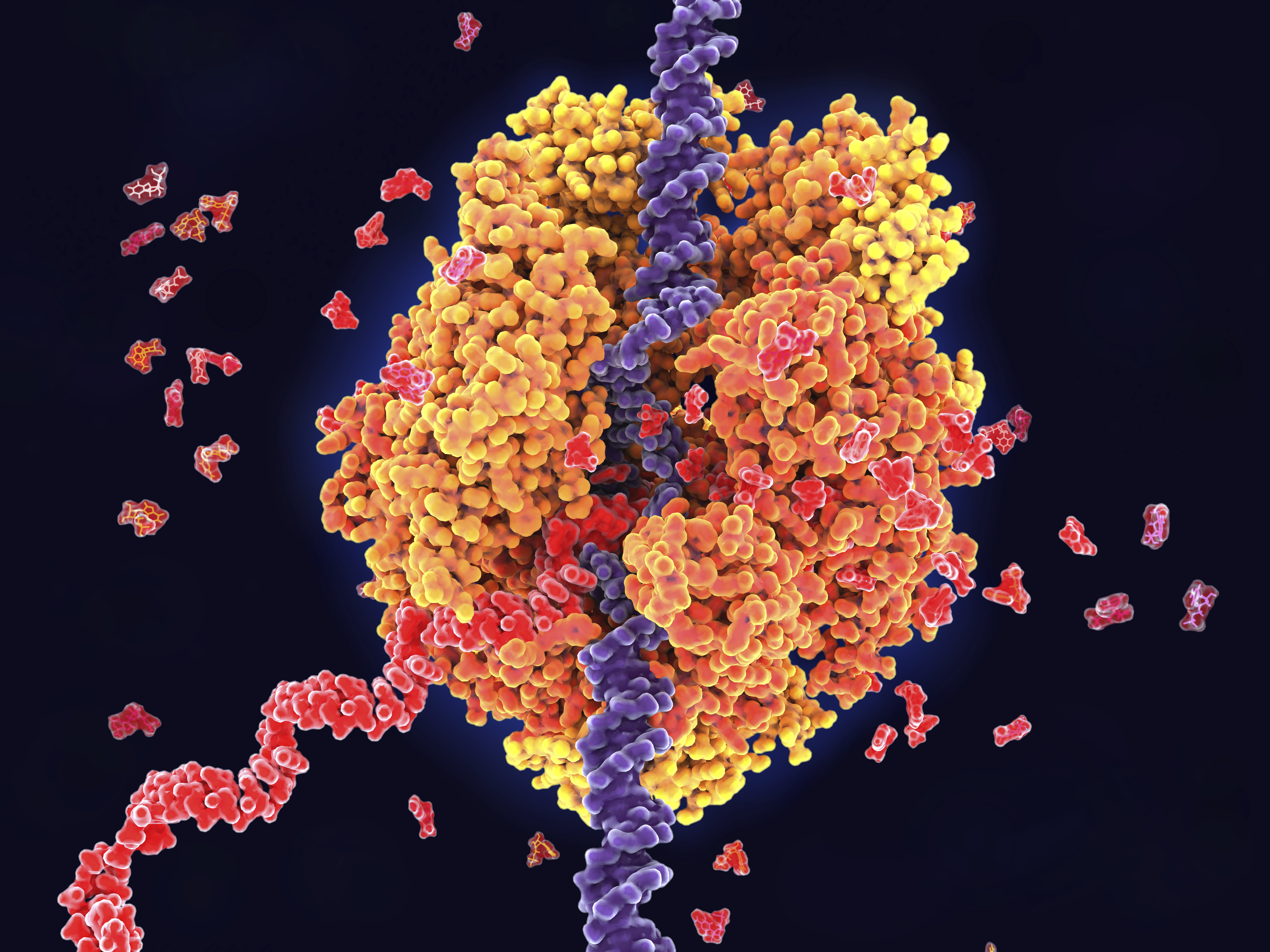 Illustration of RNA polymerase II in action in yeast. RNA (ribonucleic acid) polymerase II (orange) functions in the nucleus in the process of transcription. It unwinds the DNA (deoxyribonucleic acid) double helix (violet), and uses its nucleotide sequence as a template to produce a strand of complementary messenger ribonucleic acid (mRNA, red). RNA polymerase II recognises a start sign on the DNA strand and then moves along the strand building the mRNA until it reaches a termination signal. This single-stranded mRNA will subsequently be translated in the cytoplasm to produce a particular protein.