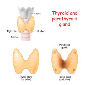 Thyroid, and parathyroids glands front and back view on white background. Thyroid, trachea and larynx. Vector diagram. Medical illustration.