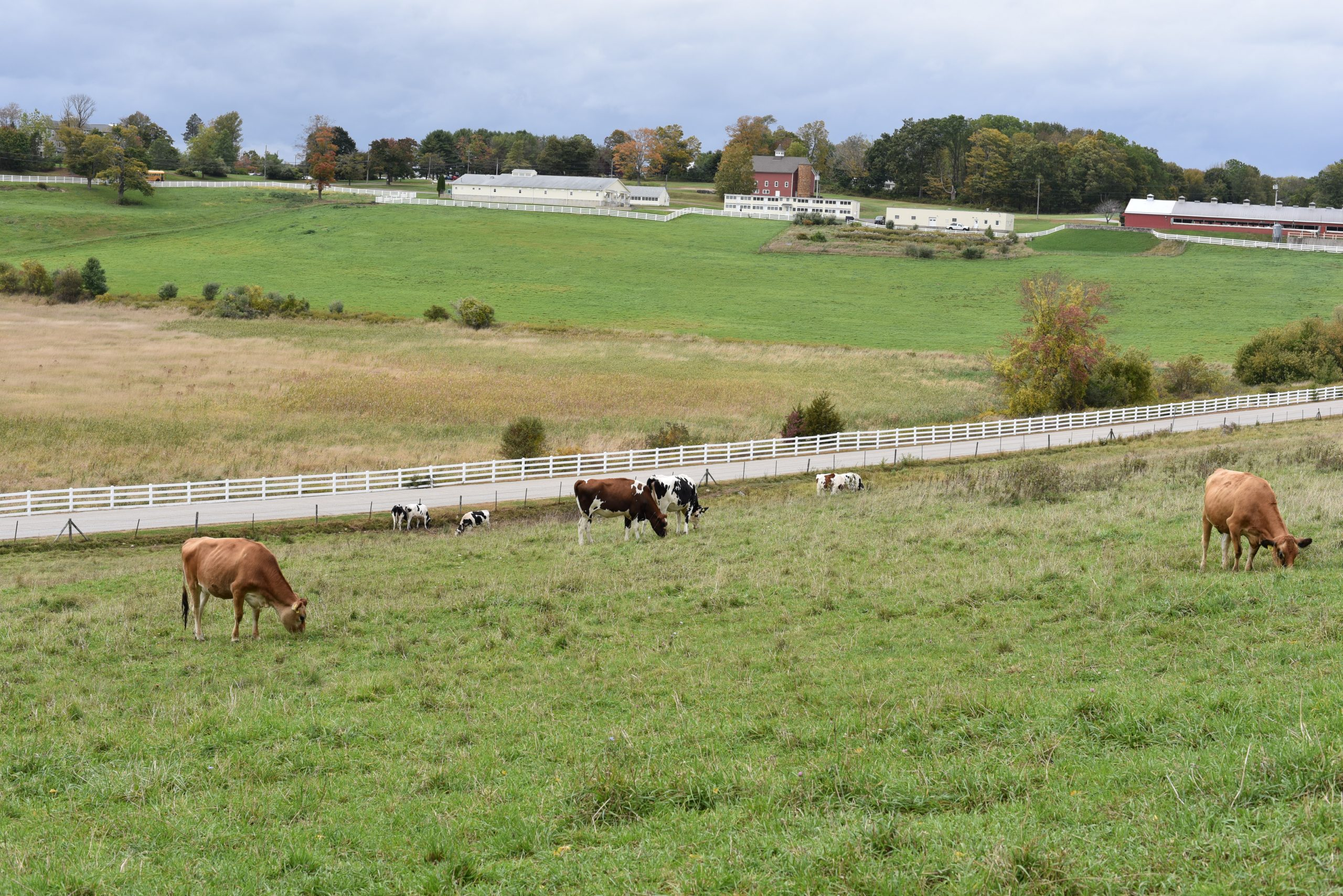 Jersey and Holstein cows graze on Horsebarn Hill in Storrs.