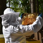 Megan Chiovaro inspects honeybee hives at Keney Park (Jaclyn Severance/UConn Photo)