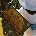 Megan Chiovaro works with honeybees at Hartford's Keney Park (Jaclyn Severance/UConn Photo)