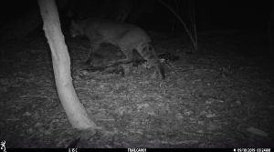 A bobcat caught in the night-vision of a wildlife camera near UConn Storrs