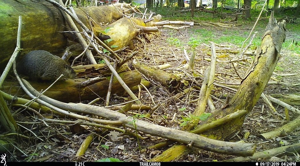 A woodchuck emerges from a fallen log, caught on camera for the Snapshot USA wildlife inventory project.