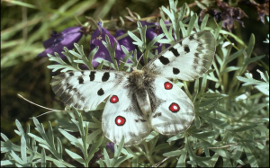 A European Grasslands butterfly, which has seen a 49 percent population drop in recent years, according to new research.