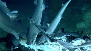 Underwater images of sharks feasting on a large carcass.