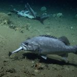 A wreckfish eating a smaller fish near the scene of a shark feast.  (NOAA Office of Ocean Exploration and Research)
