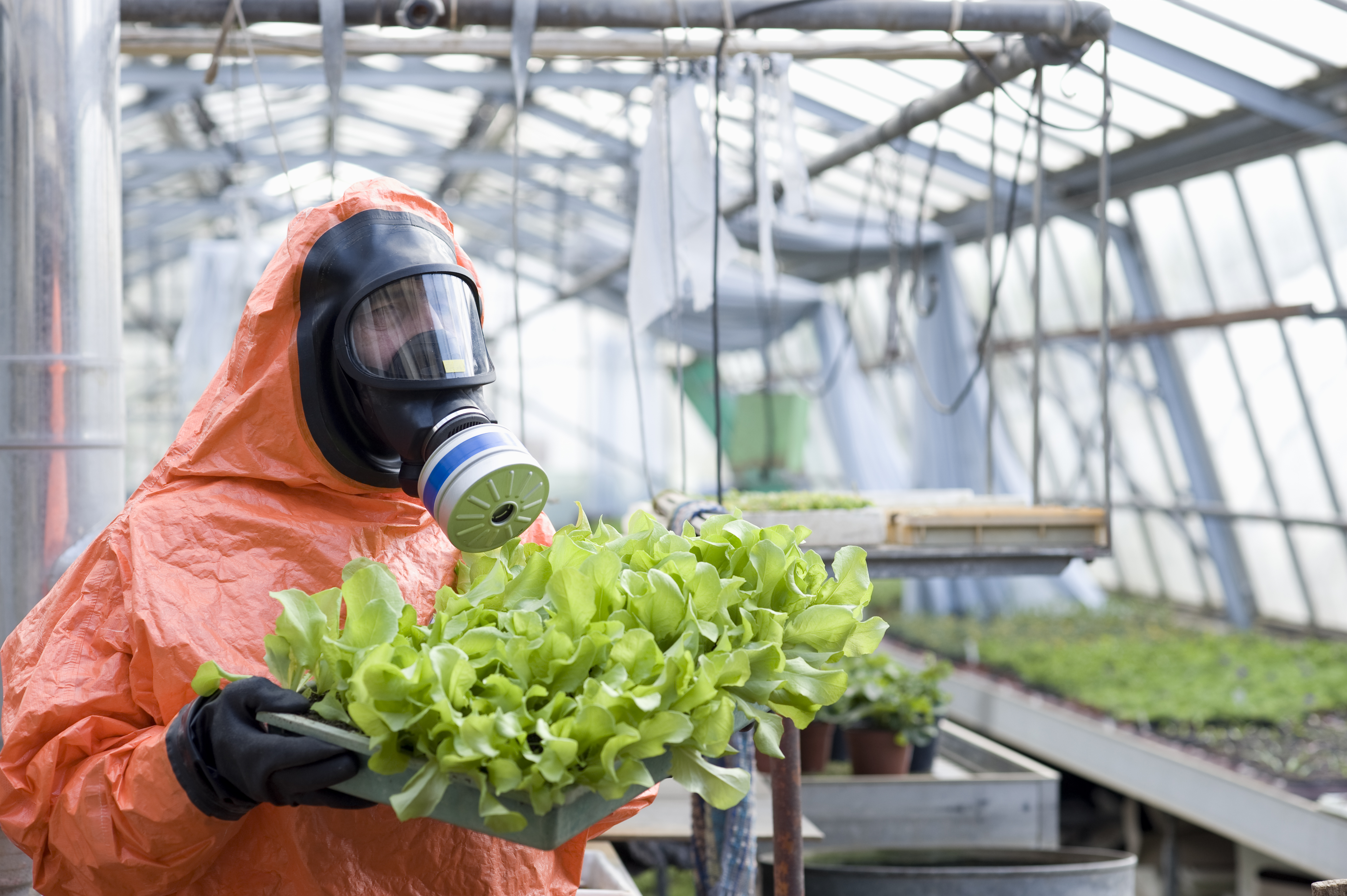 A person in a hazmat suit with a gas mask holds a tray of lettuce in a greenhouse, illustrating the idea that E. coli bacteria like the type that can be found in some types of vegetables can be deadly to humans.