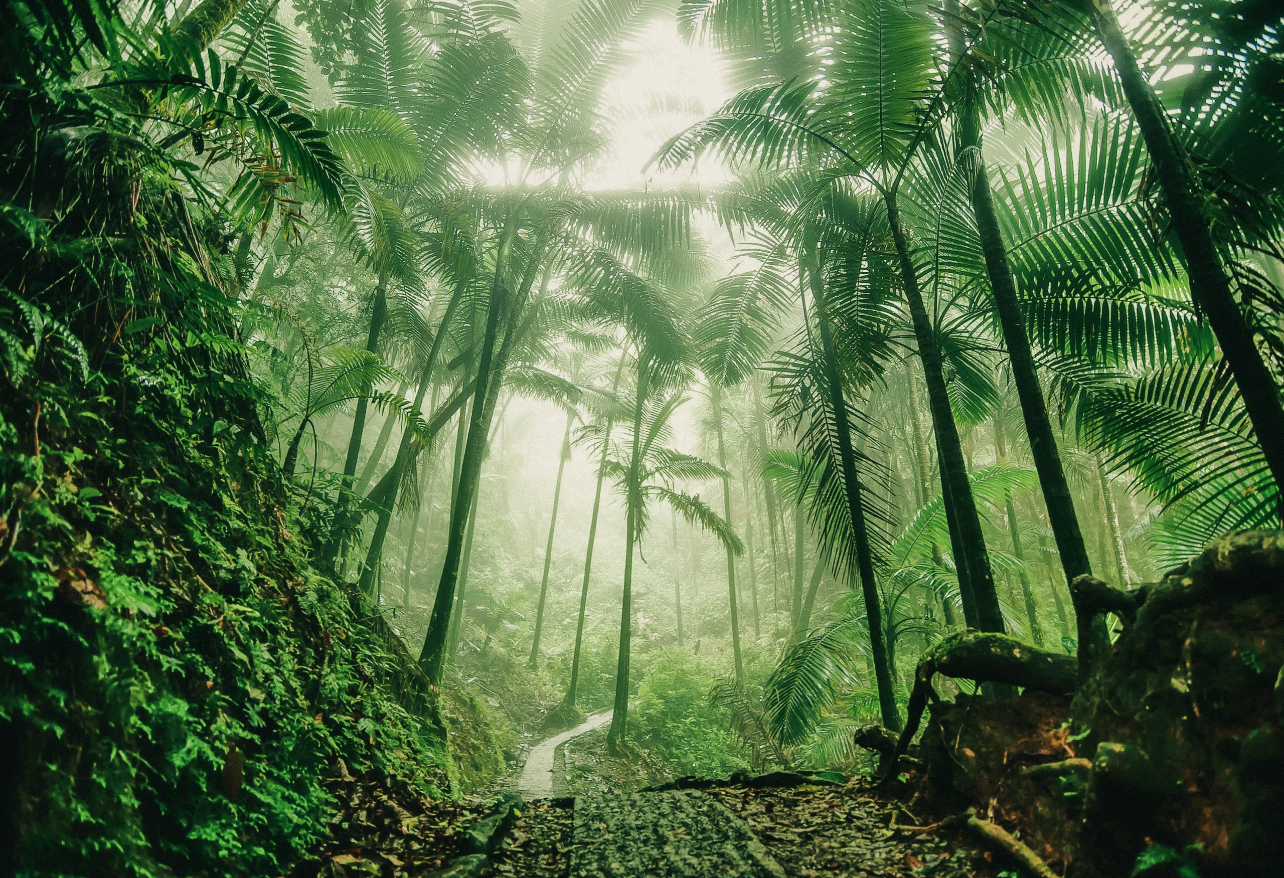 Tropical path in the fog at El Yunque National Rain Forest in Puerto Rico