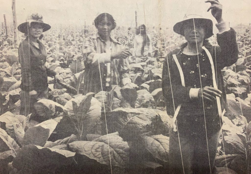 In this 1982 Hartford Courant image, Laotian refugees work on a plantation in Simsbury.