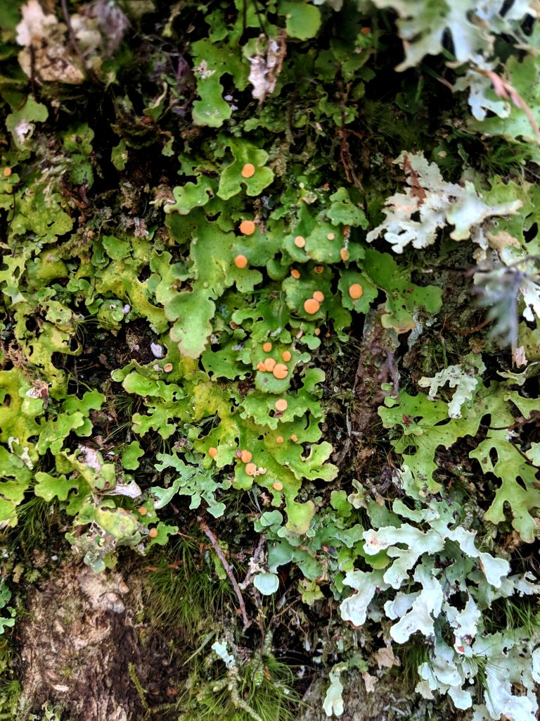 Lobaria - the pale orange dots are called apothecia, disc- or cup-shaped structures that produce fungal spores. (Contributed photo)