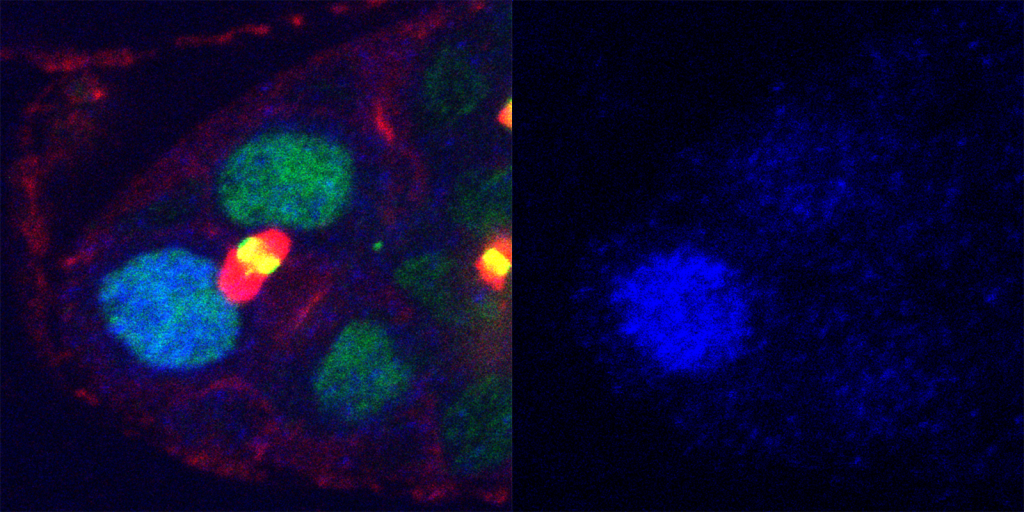 The lefthand image shows two cells just after they have divided; the turquoise cell on the upper left remains a germline stem cell, while the green cell on the lower right is transforming into an egg cell. The right hand image shows the concentration of active Mad in the cells. The germline stem cell on the upper left has much more active Mad, and so is a brighter blue than the egg cell.