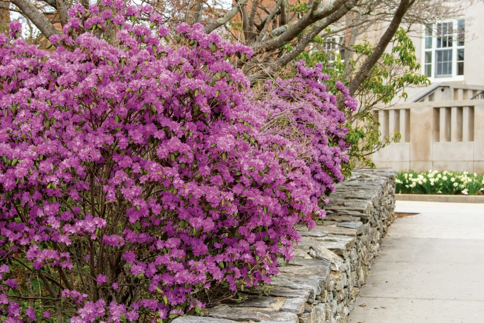Trees and shrubs blooming across campus
